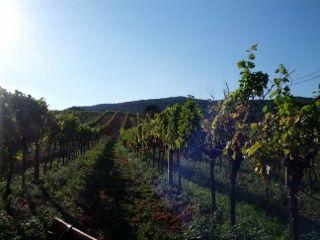 wineyards Baden