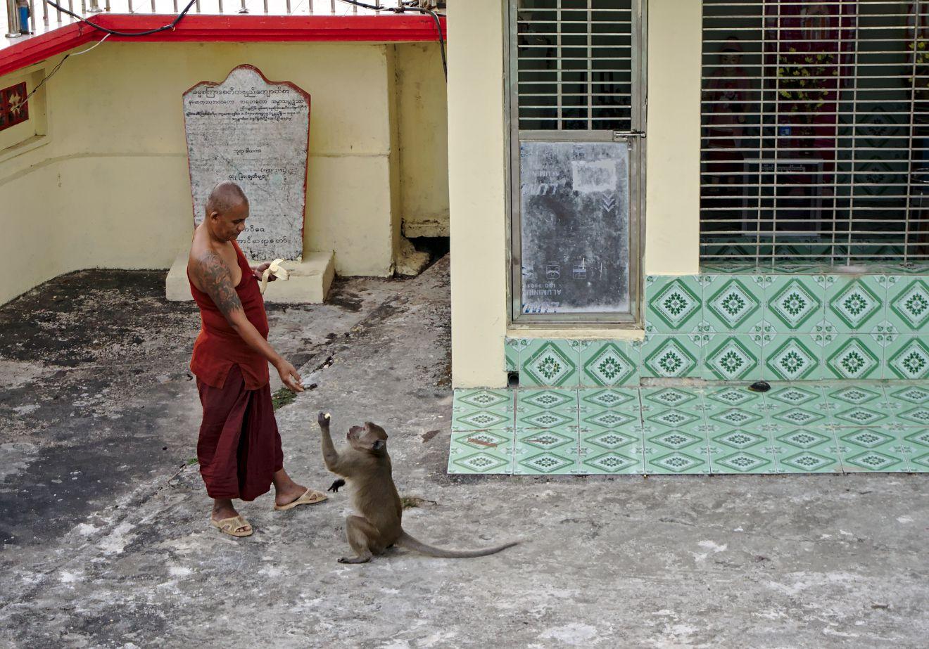 moine nourrissant un singe en Birmanie