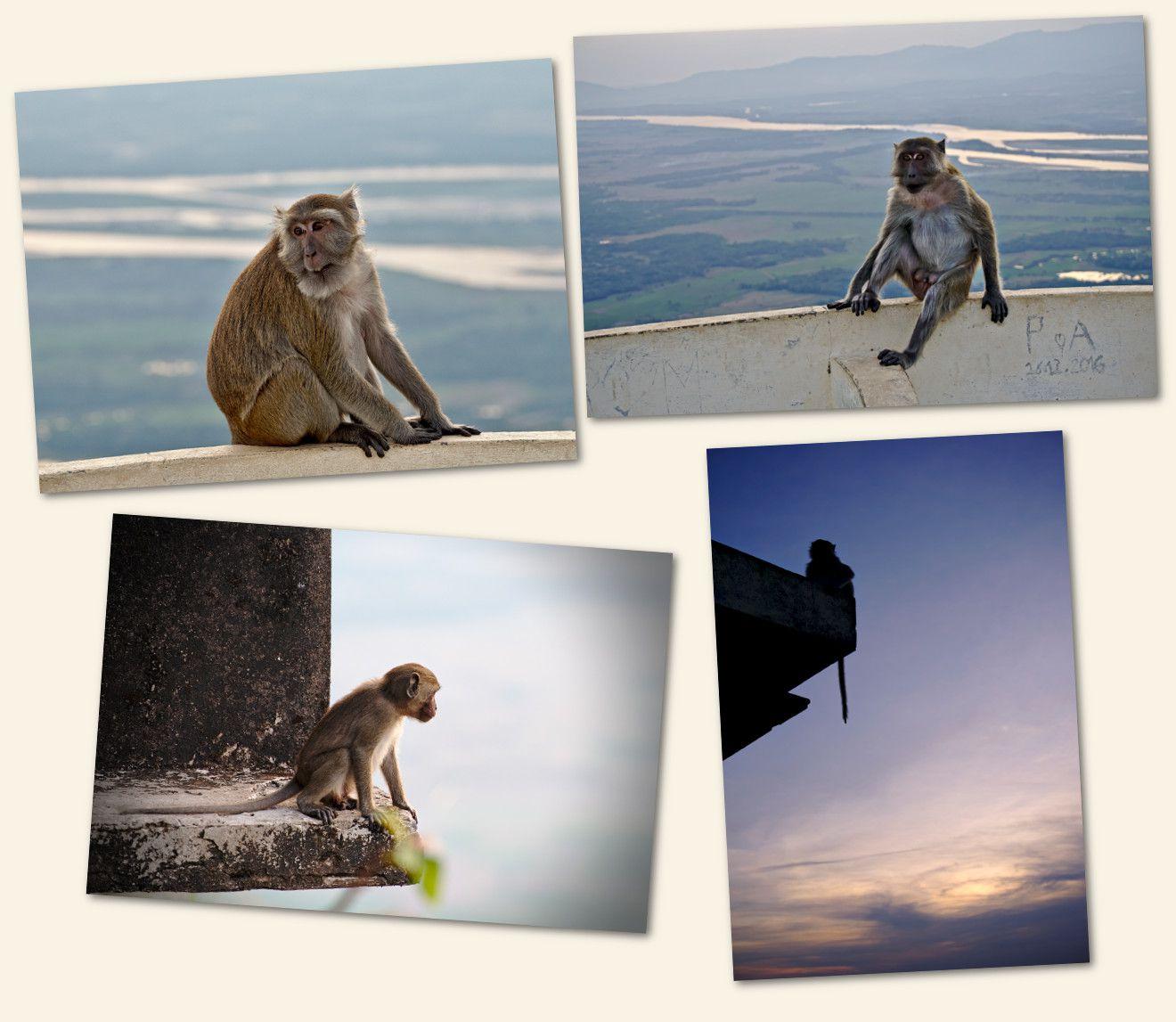 les singes au sommet du mont zwegabin