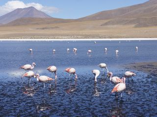 flamant rose en bolivie