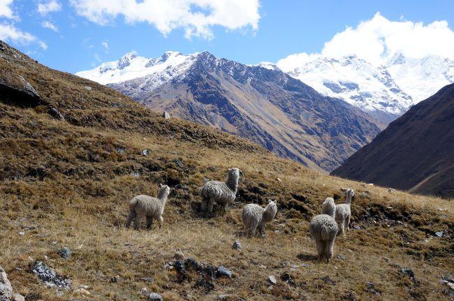 yanama lamas