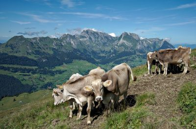 vaches selun