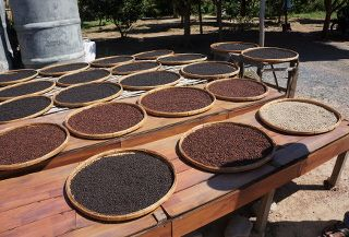 plantation de poivre de Kampot