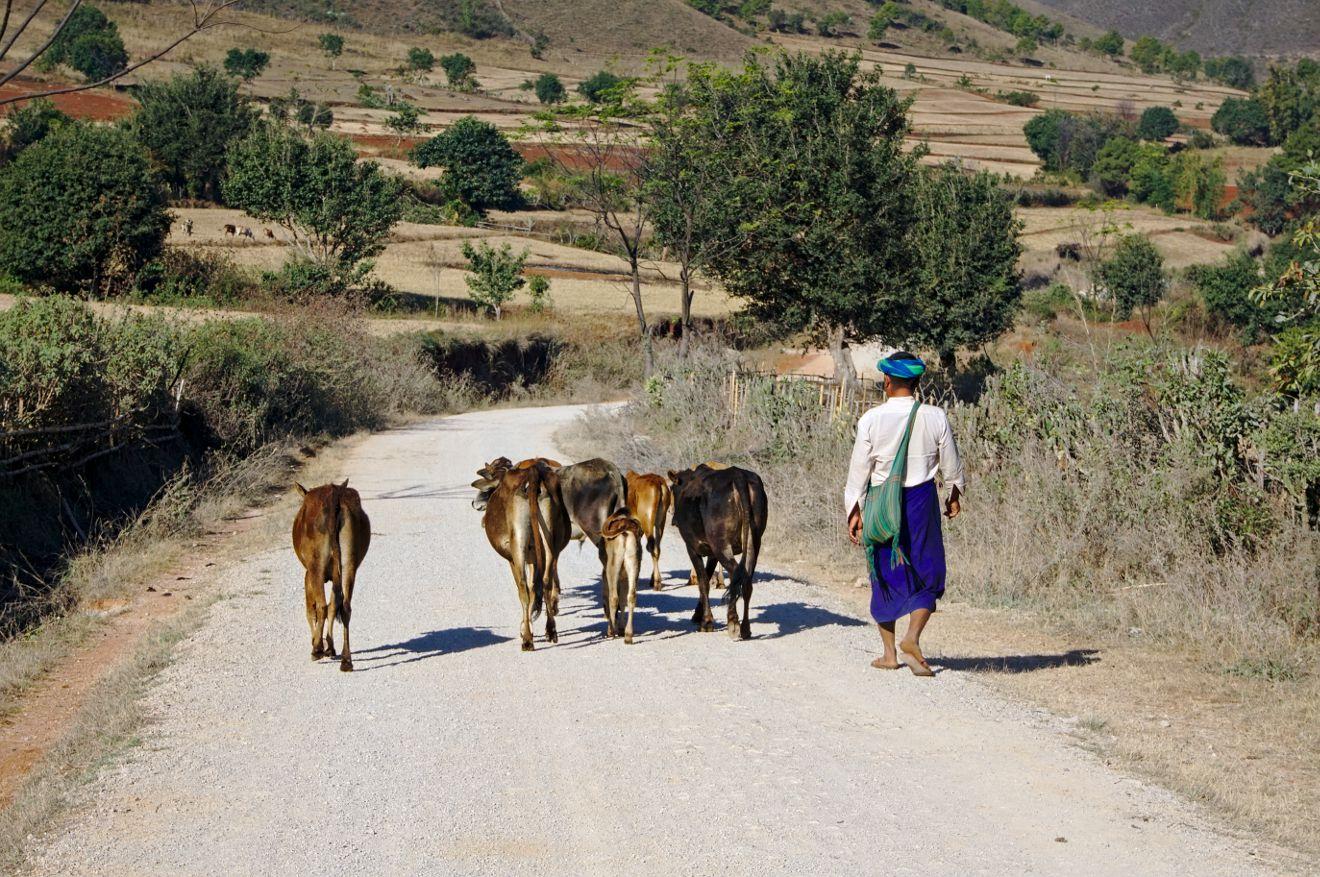 un paysan birman et ses veaux