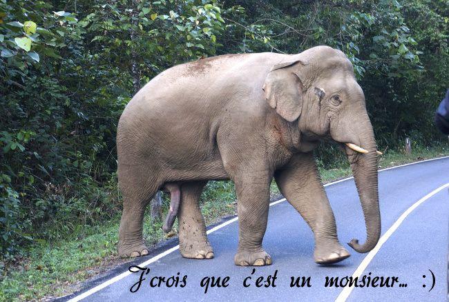 Elephant sauvage