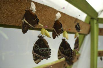 naissance de papillon