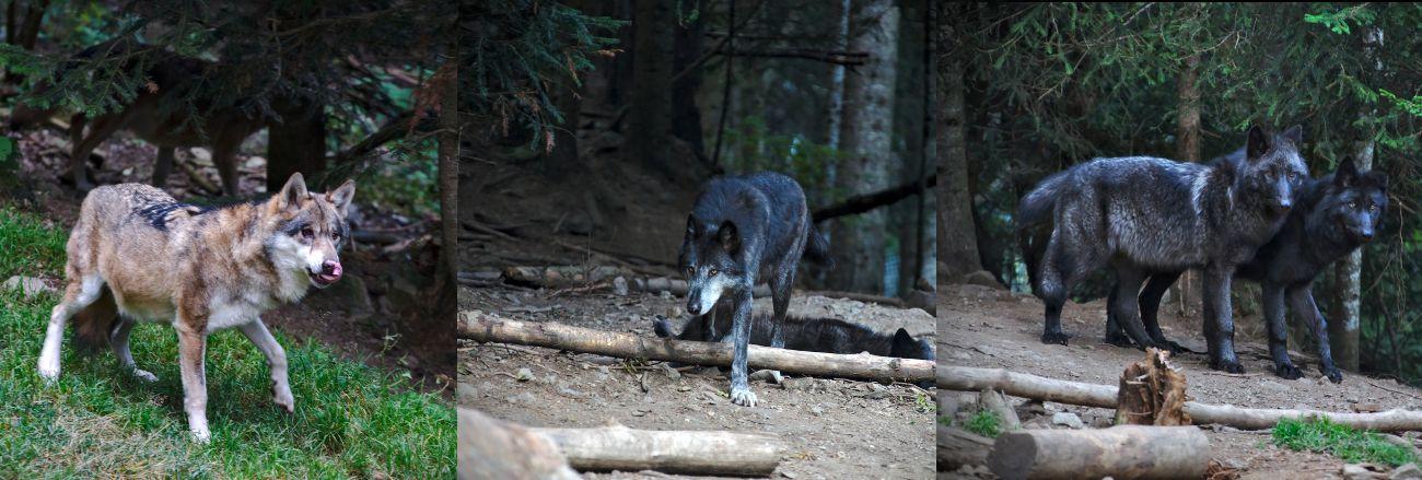 réserves animales avec des loups