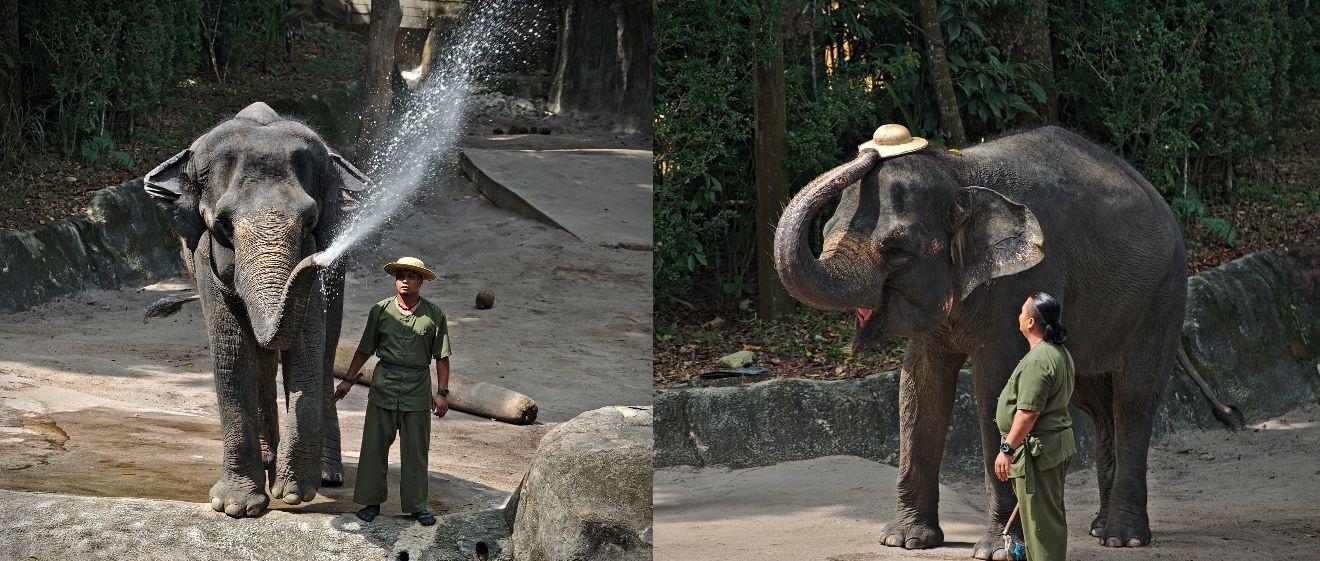 éléphant au zoo de Singapour