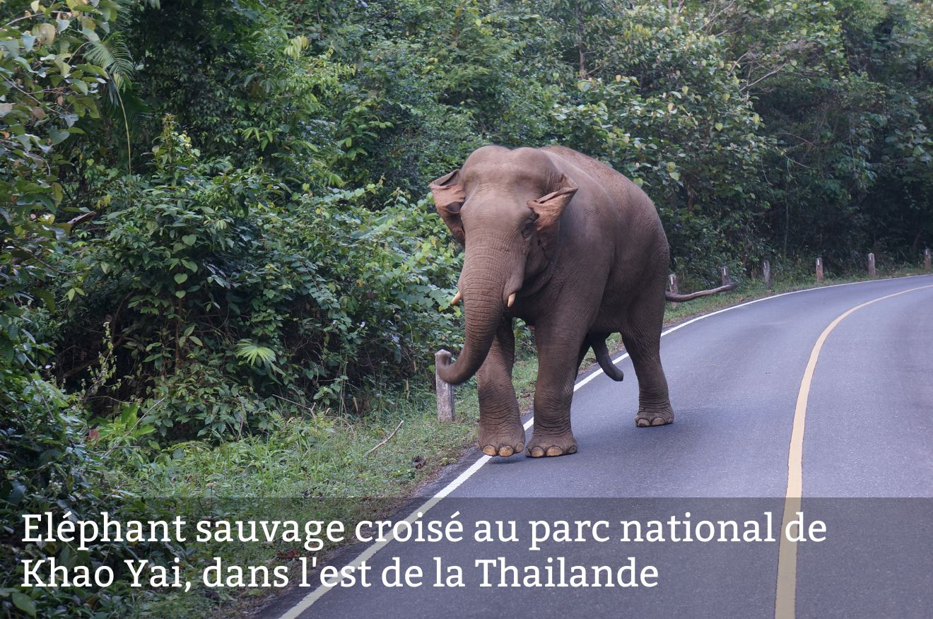 éléphant sauvage en Thailande