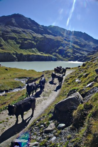 vaches d'herens