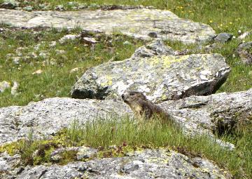 marmottes en liberté, Valais