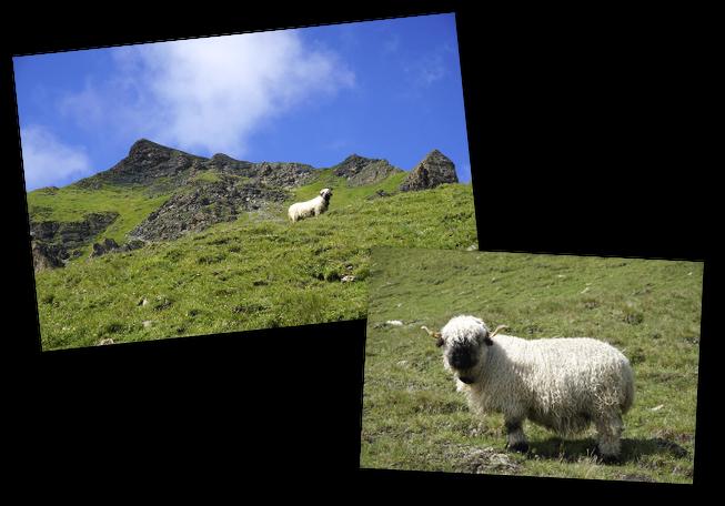 mouton frisé à l'alpage