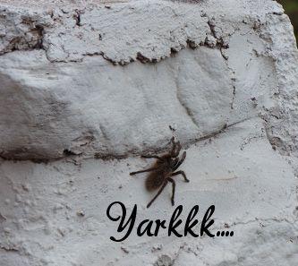 grosse araignée velue