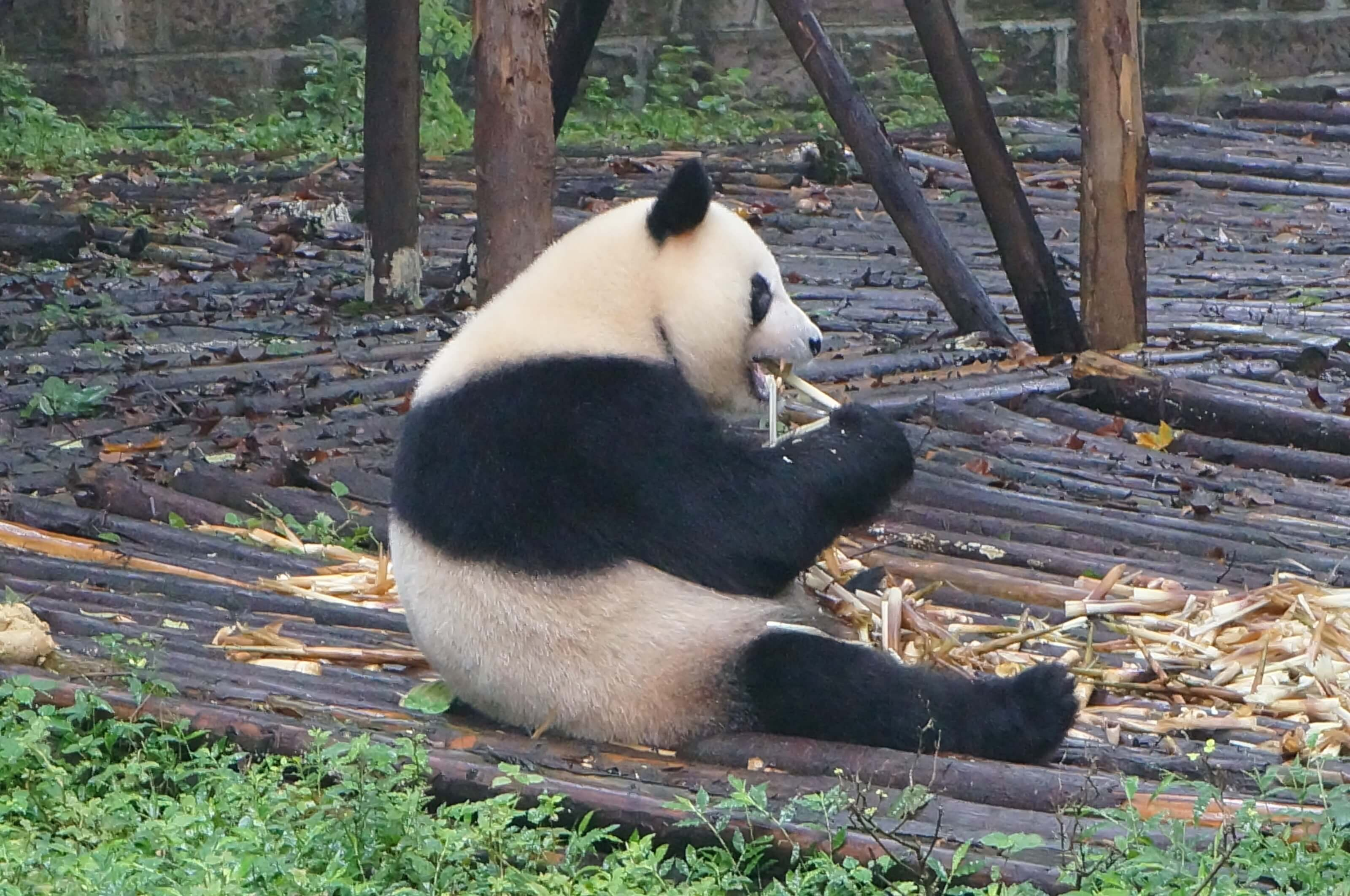 panda chine chengdu