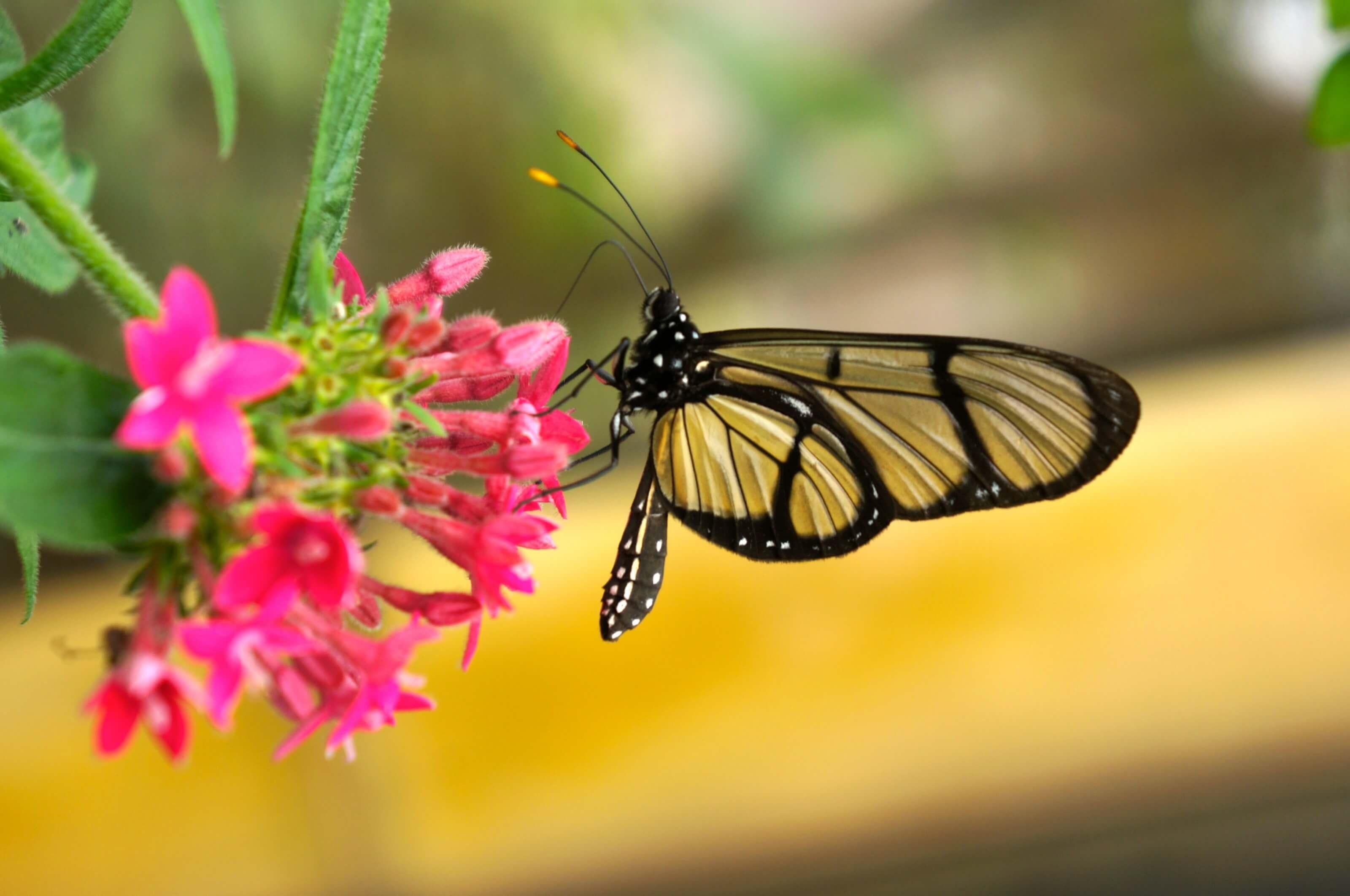 papillon mido