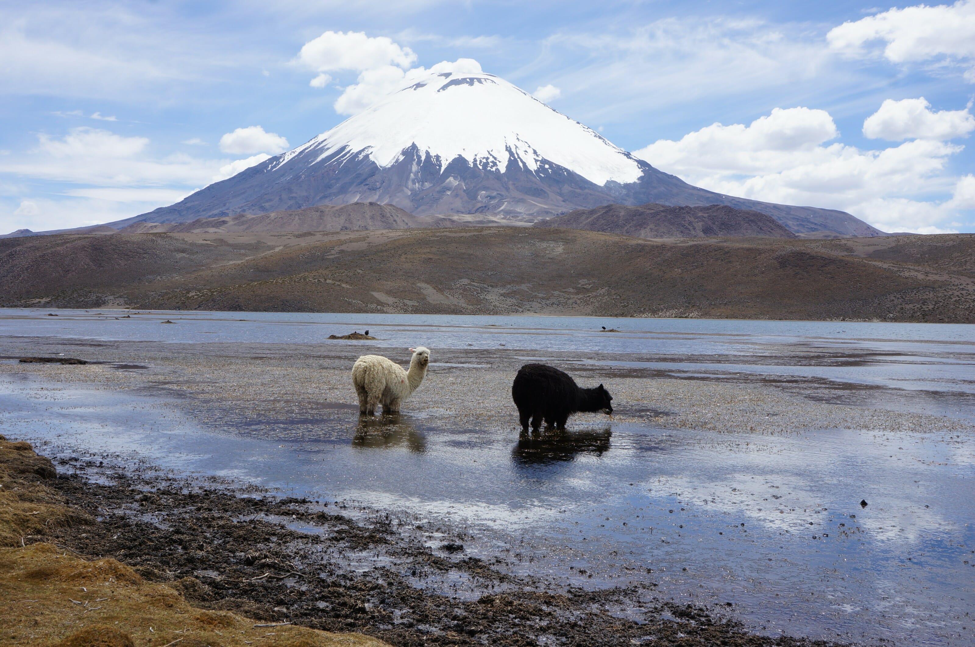 lama et volcan en bolivie