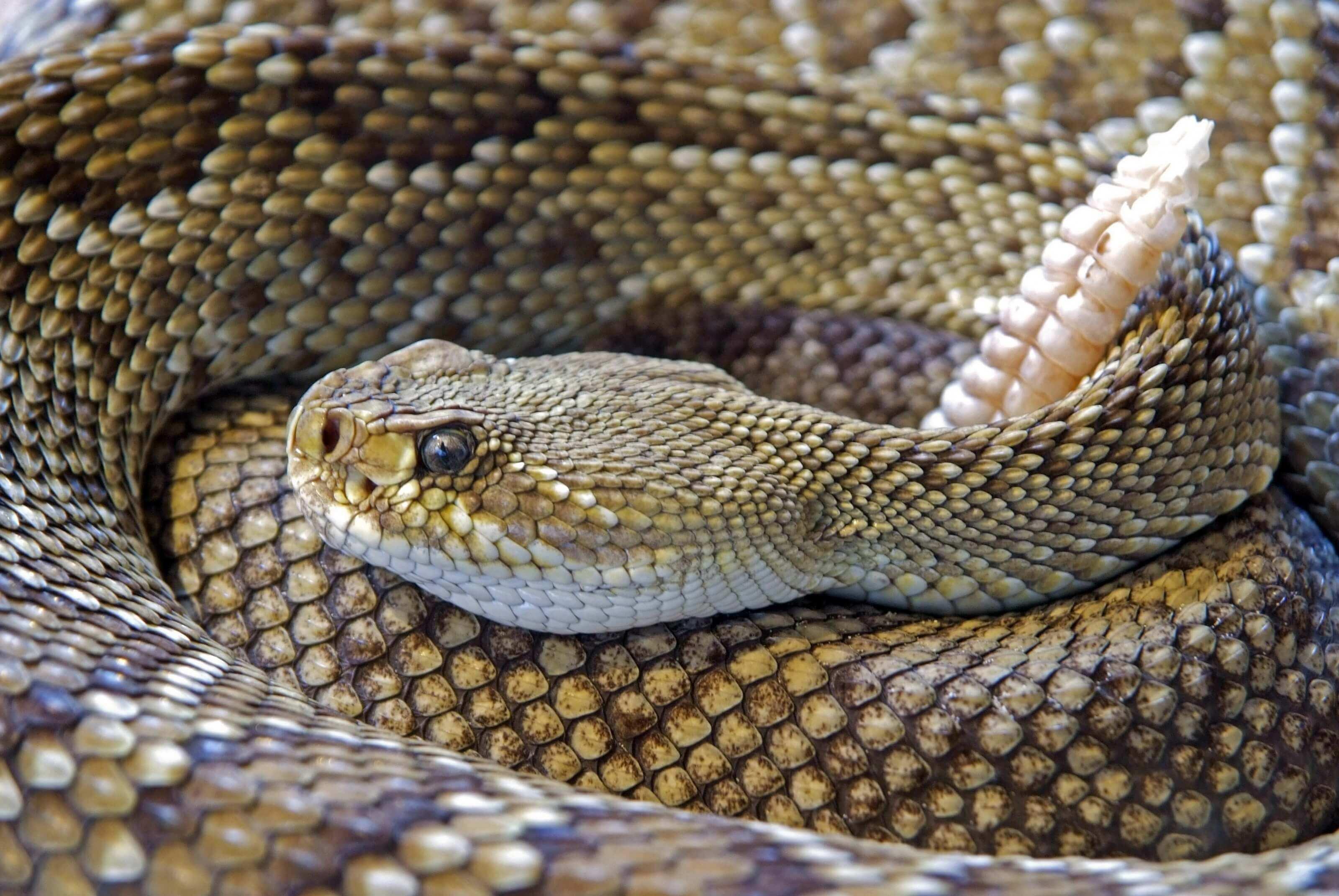 serpent à sonnette