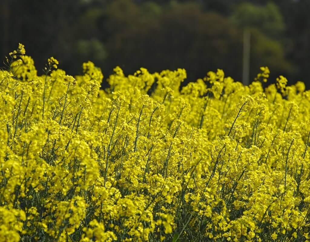 champs de fleurs jaunes
