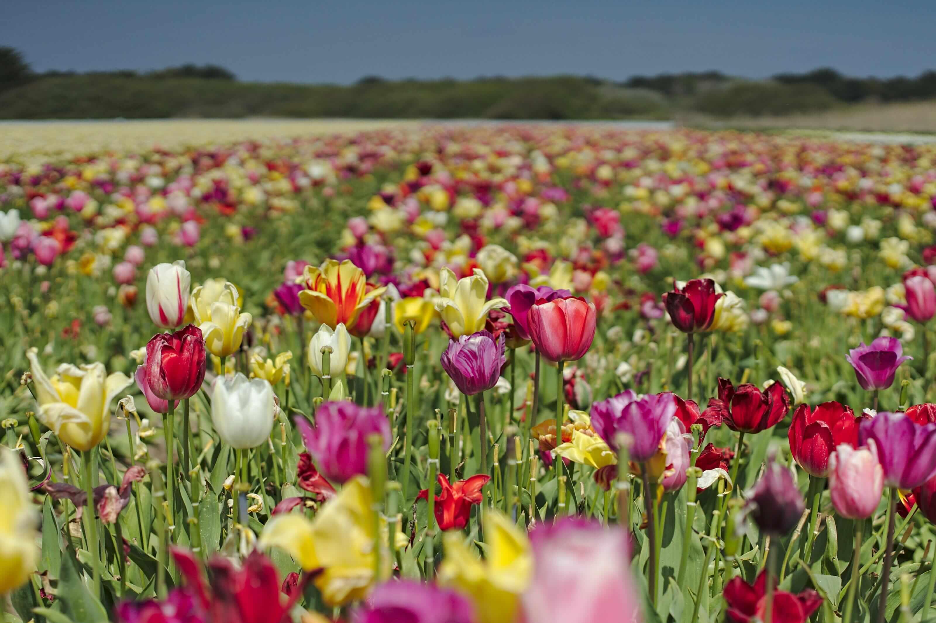 champ de tulipes la palud
