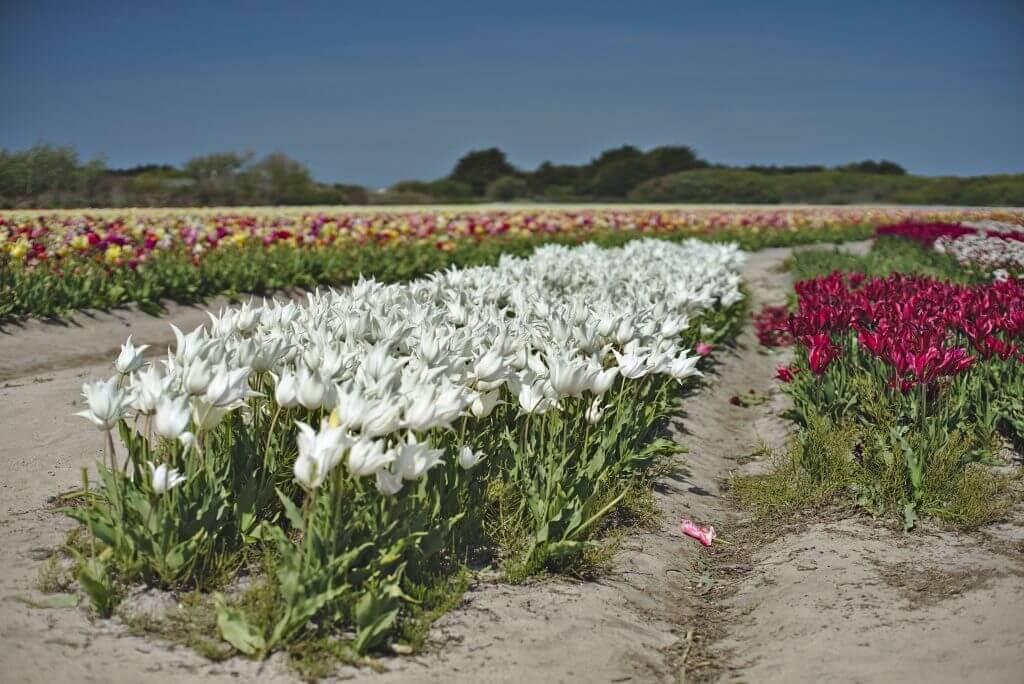 tulipes de la torche