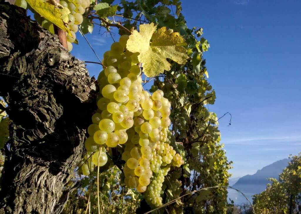 vignes lavaux