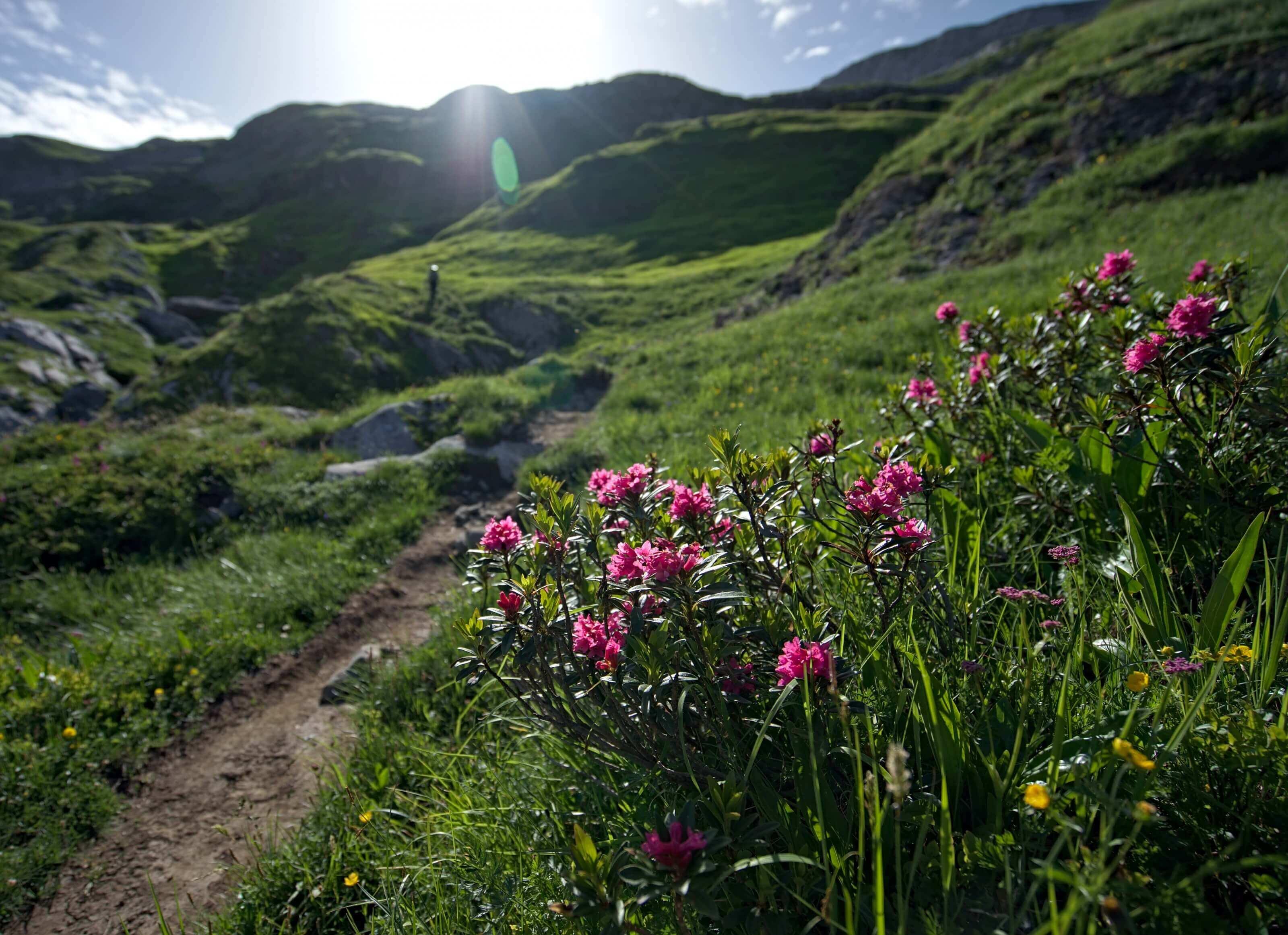 fleurs -alpes