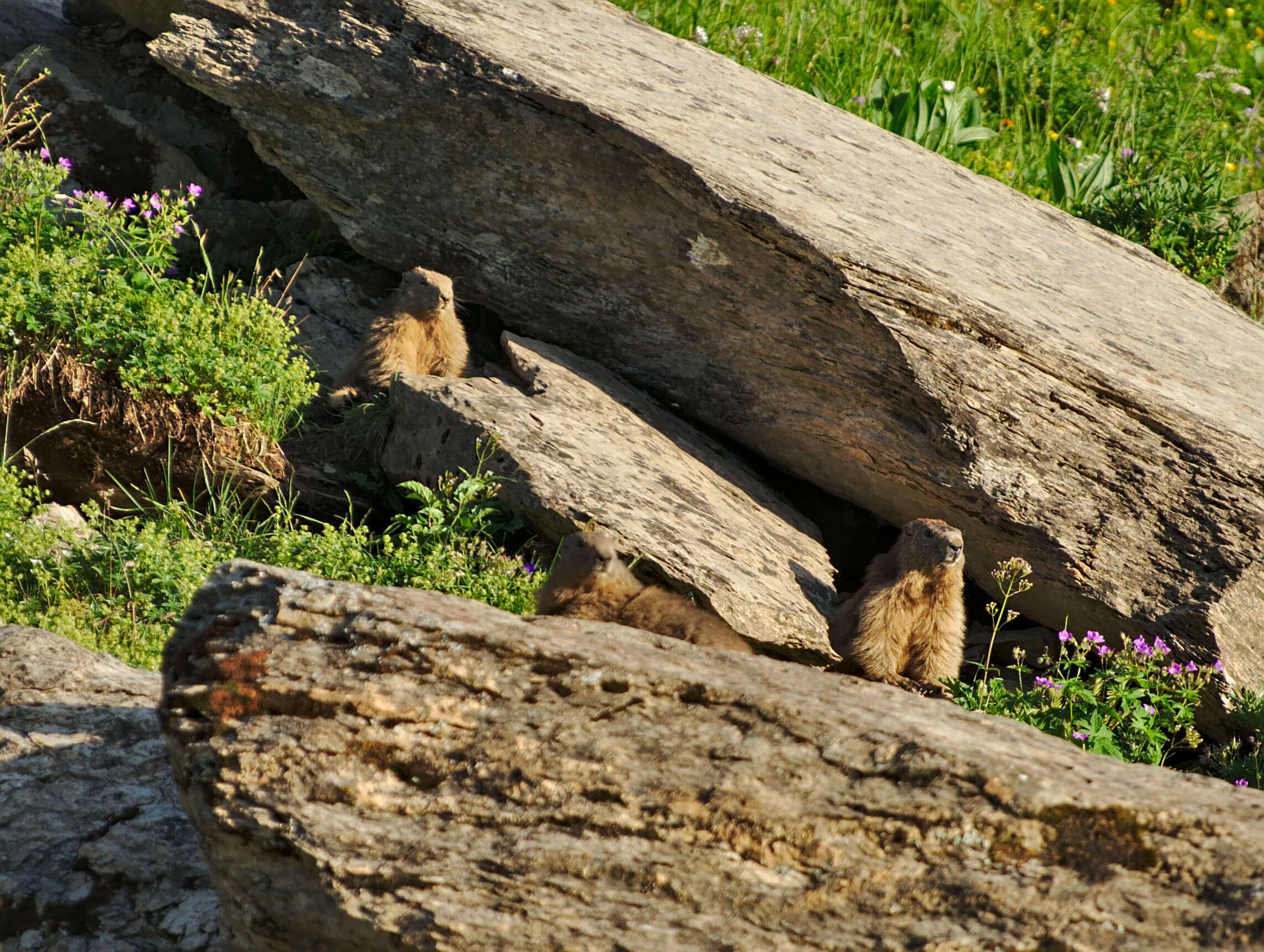 marmotte bostan