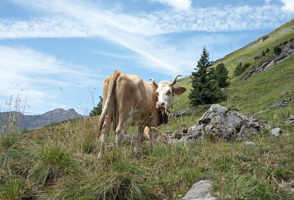 vache aux cornes tordues