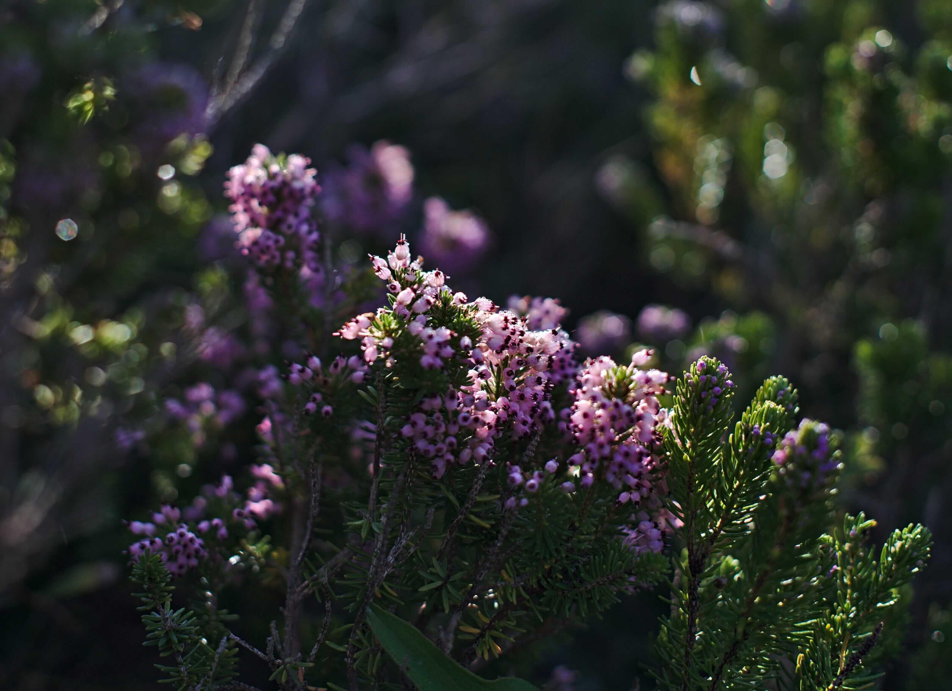 fleur minorque