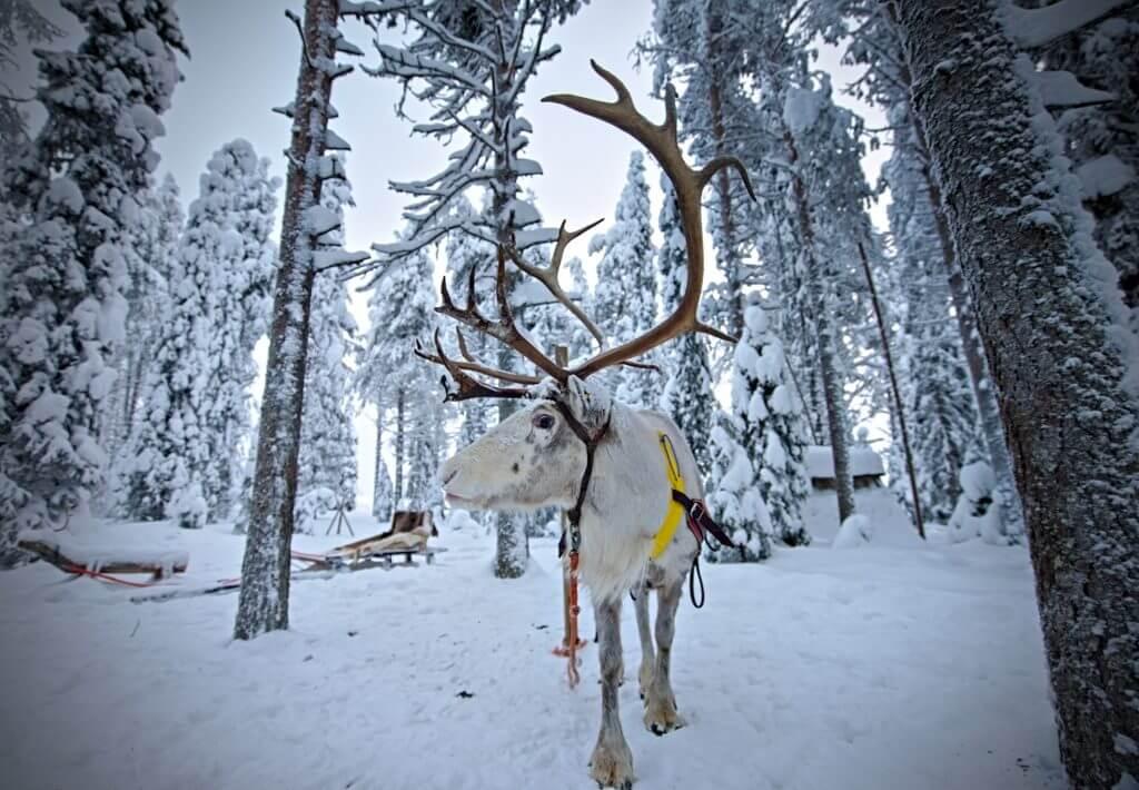 renne laponie finlande