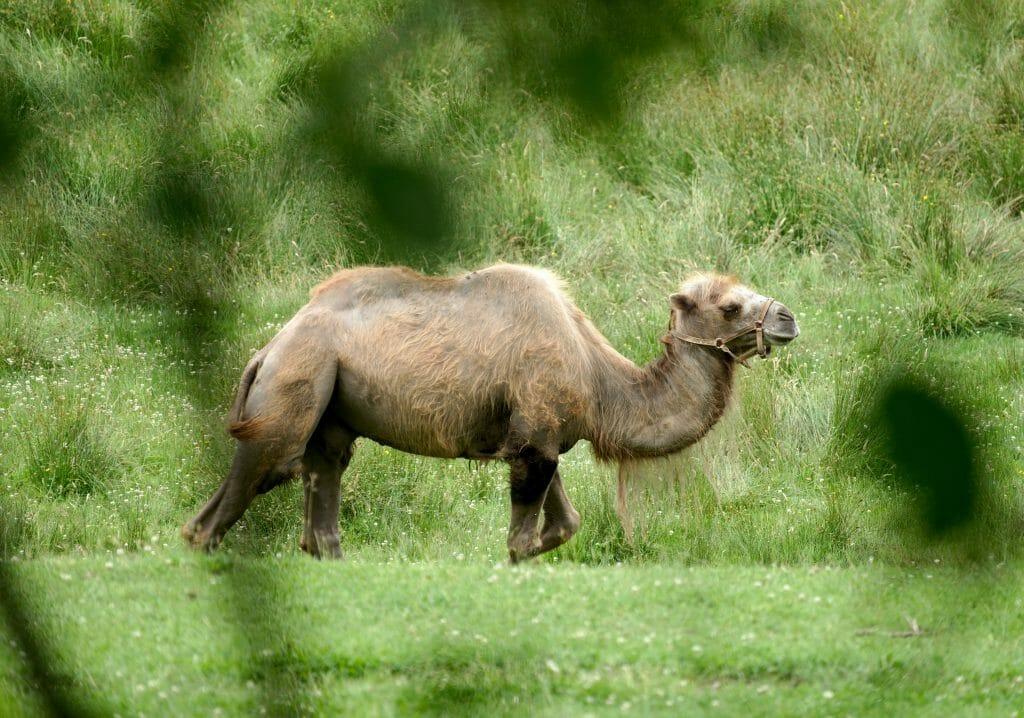 chameau pays de bitche