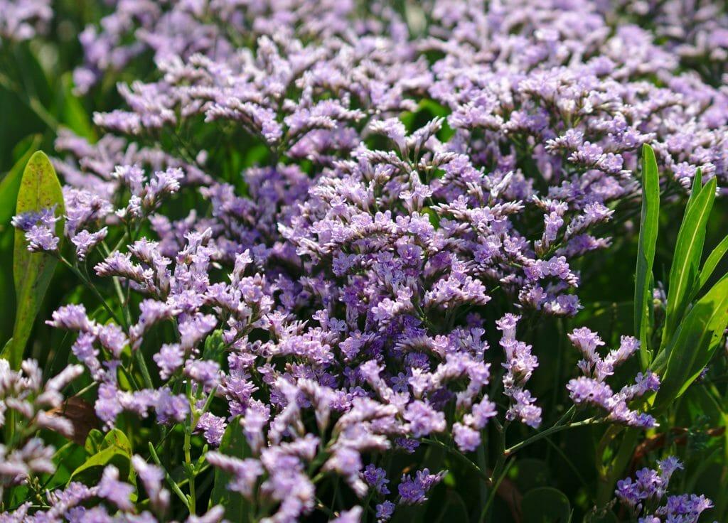 fleur baie authie