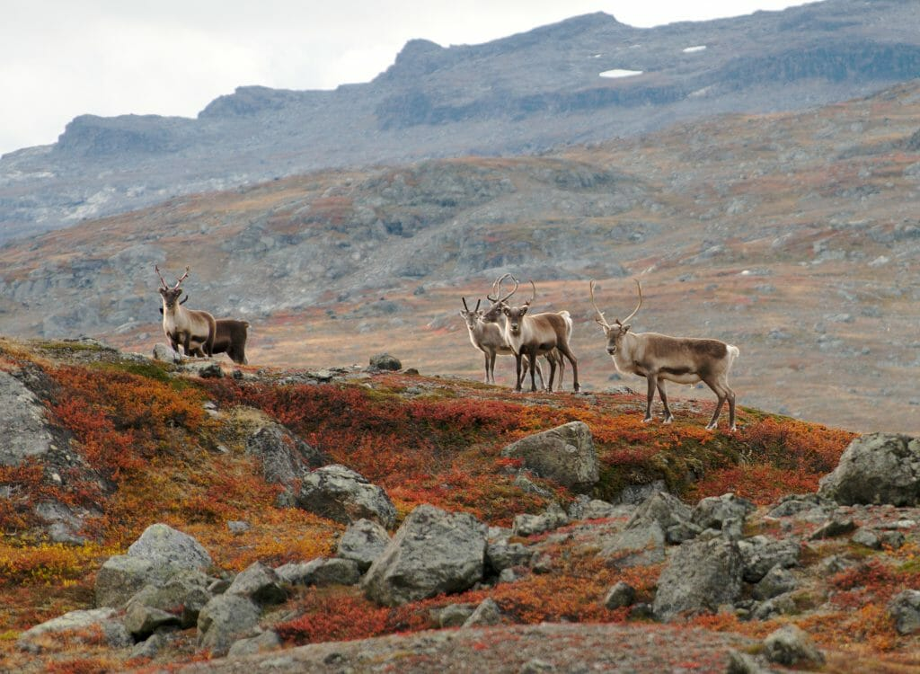reindeers in swedish lapland