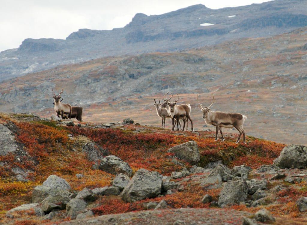 reindeers in swedish lapland