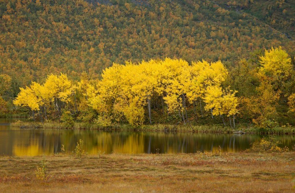 automne-jaune-laponie