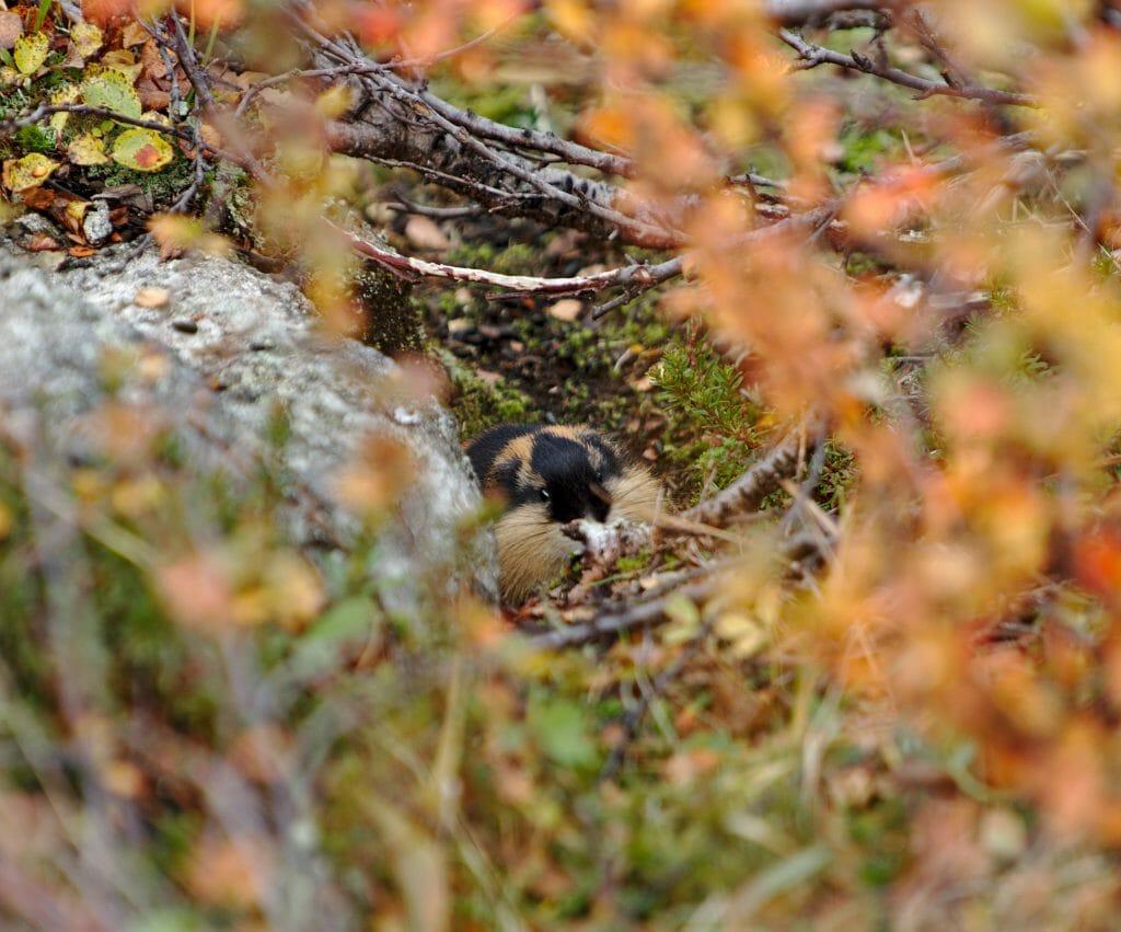 lemmings-laponie