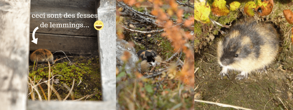lemmings en laponie