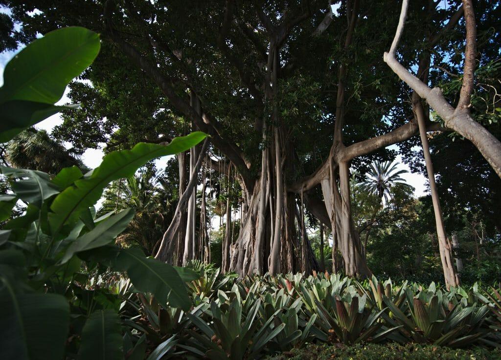 arbre de tenerife