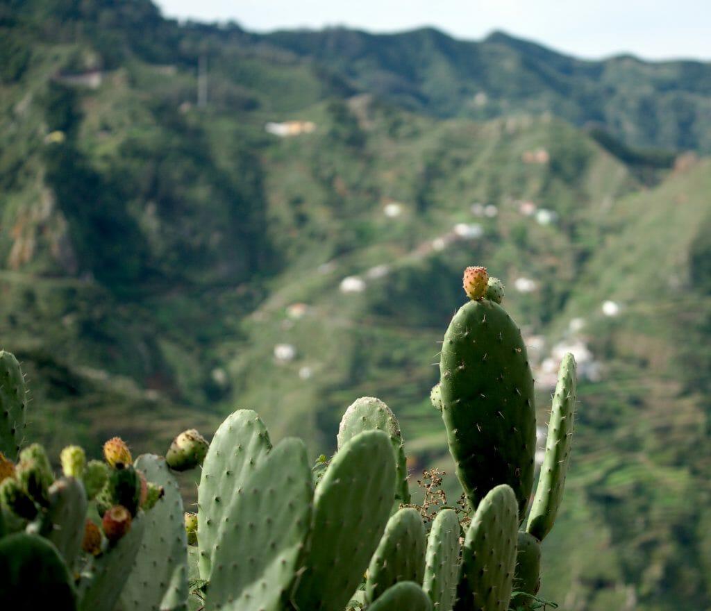 cactus à tenerife