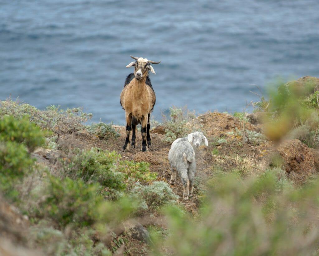 chèvres dans le parc de l'anaga
