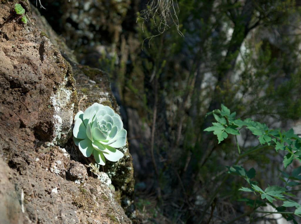 plantes Tenerife