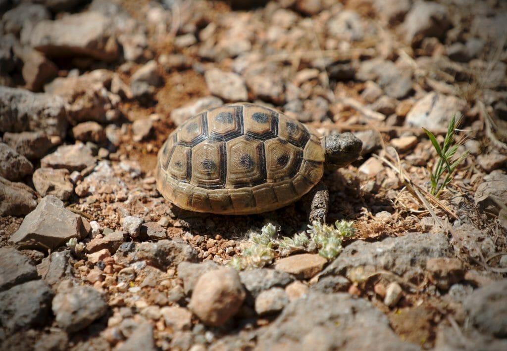 bebe tortue turquie