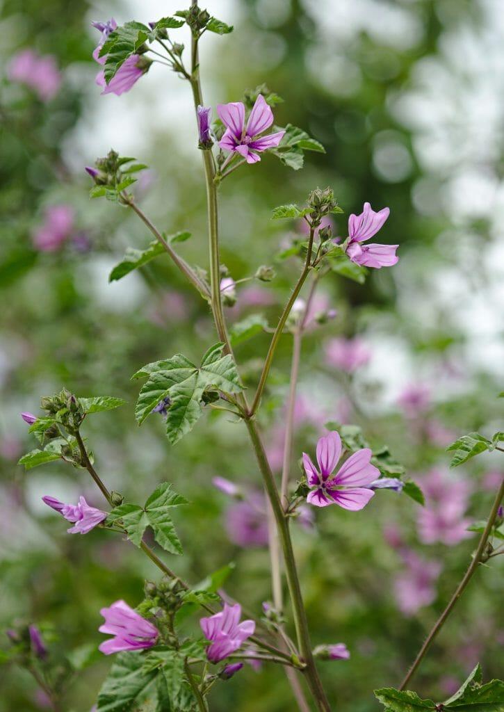 sirince-fleurs