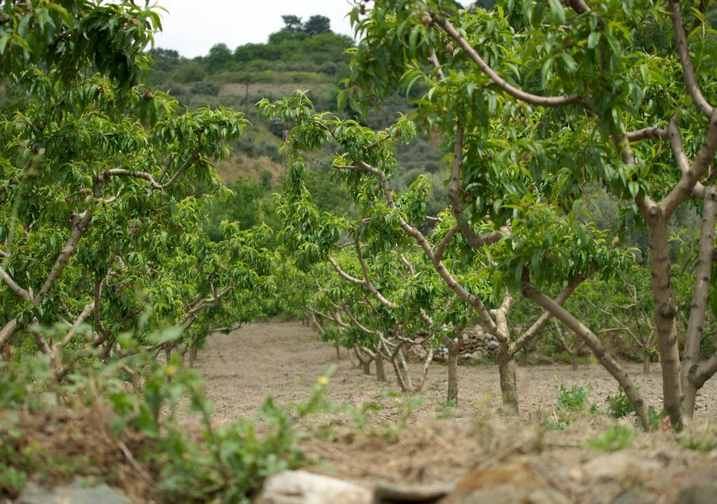 sirince-fruits
