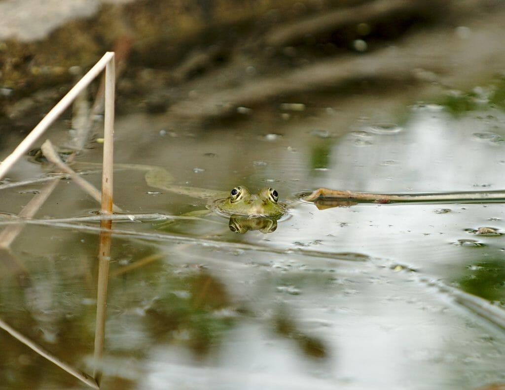 sirince-grenouille