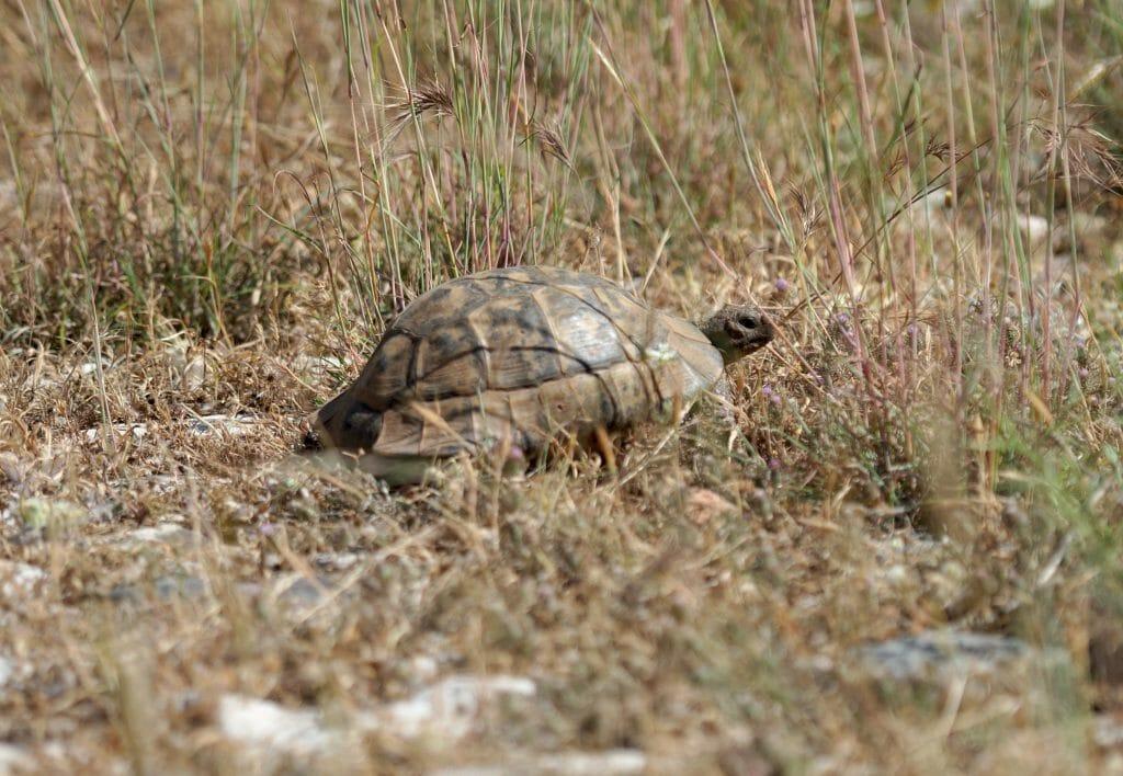 tortue turquie