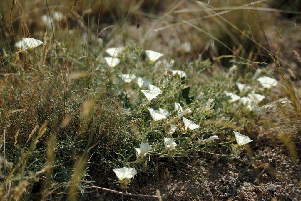 fleurs cappadoce