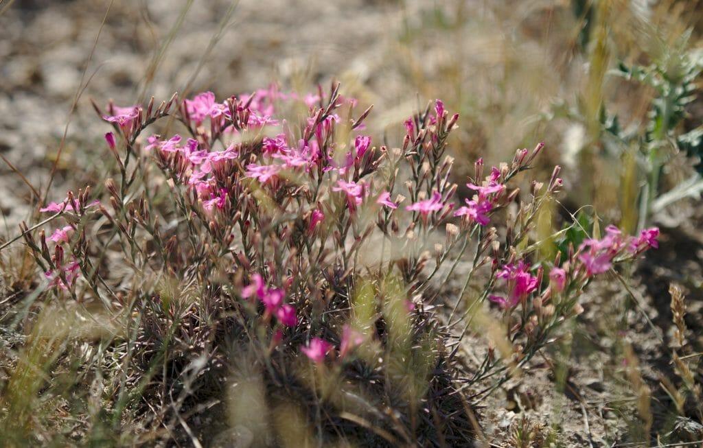 fleur cappadoce
