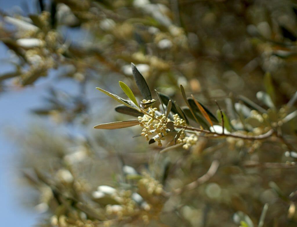 olivier en turquie