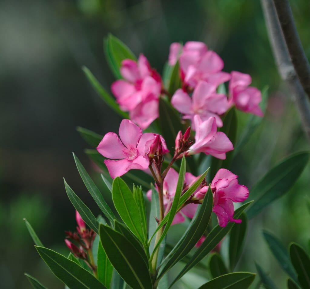 fleur en turquie